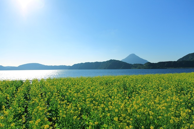 池田湖菜の花2-1.JPG