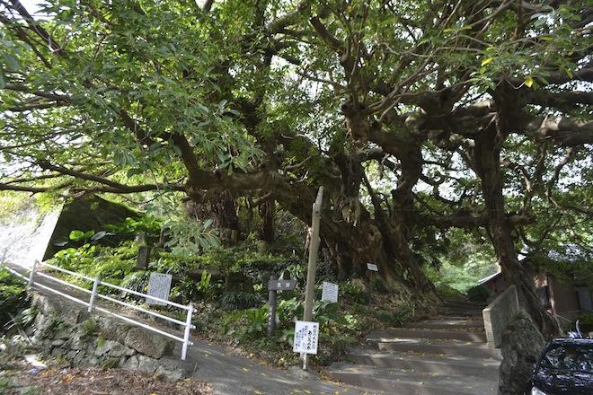 秋目の大きなあこうの木.jpg